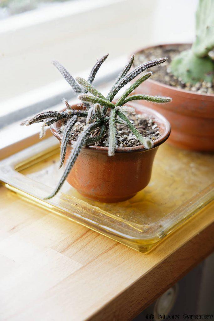Rhipsalis dans un pot en terre cuite d'origine inconnue