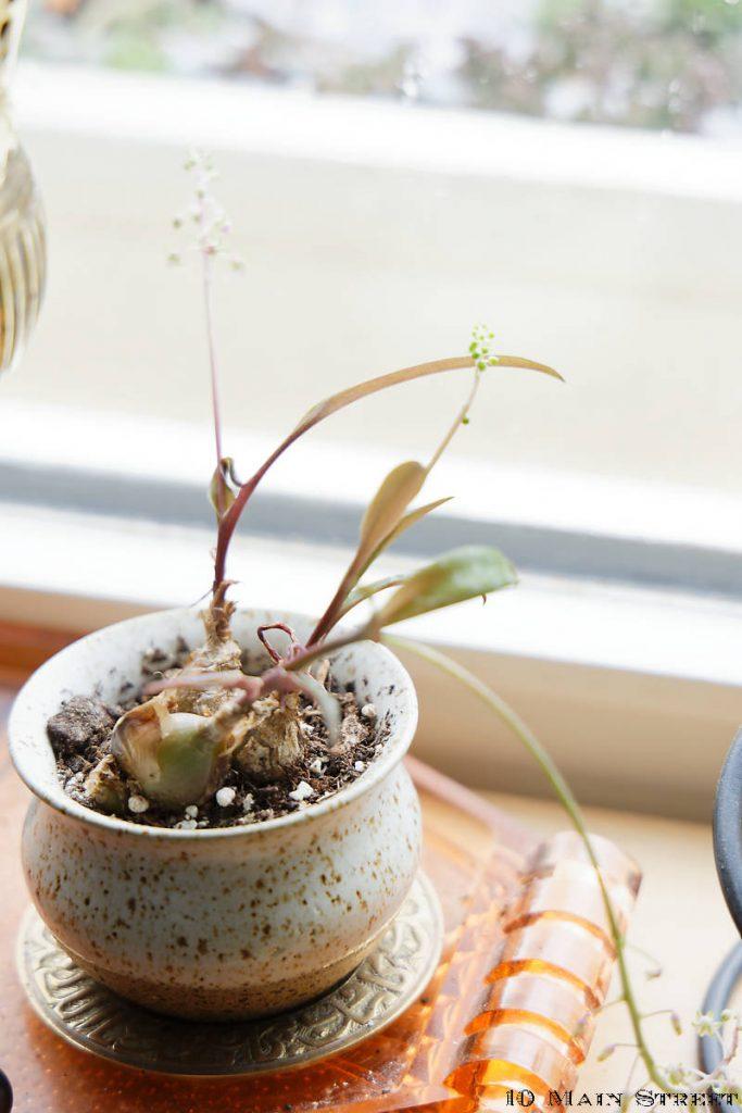 Ledebouria socialis dans un petit pot décoratif