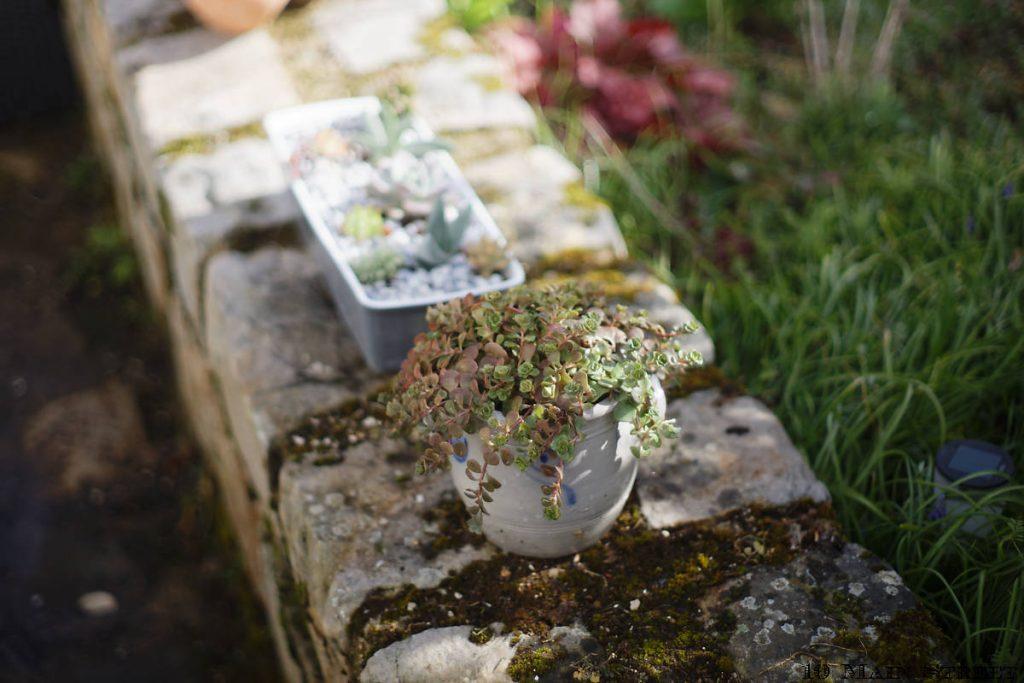 sedum makinoi dans une petites alsacienn,e convertie en pot de fleur