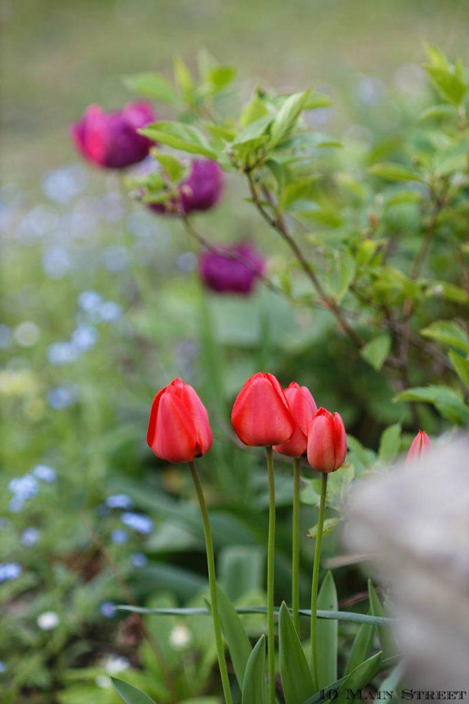 Tulipes rouges et tulipes mauves