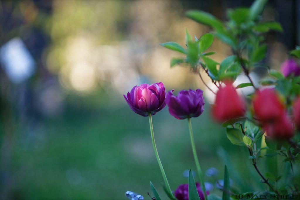 Tulipes 2021 derrière la maison
