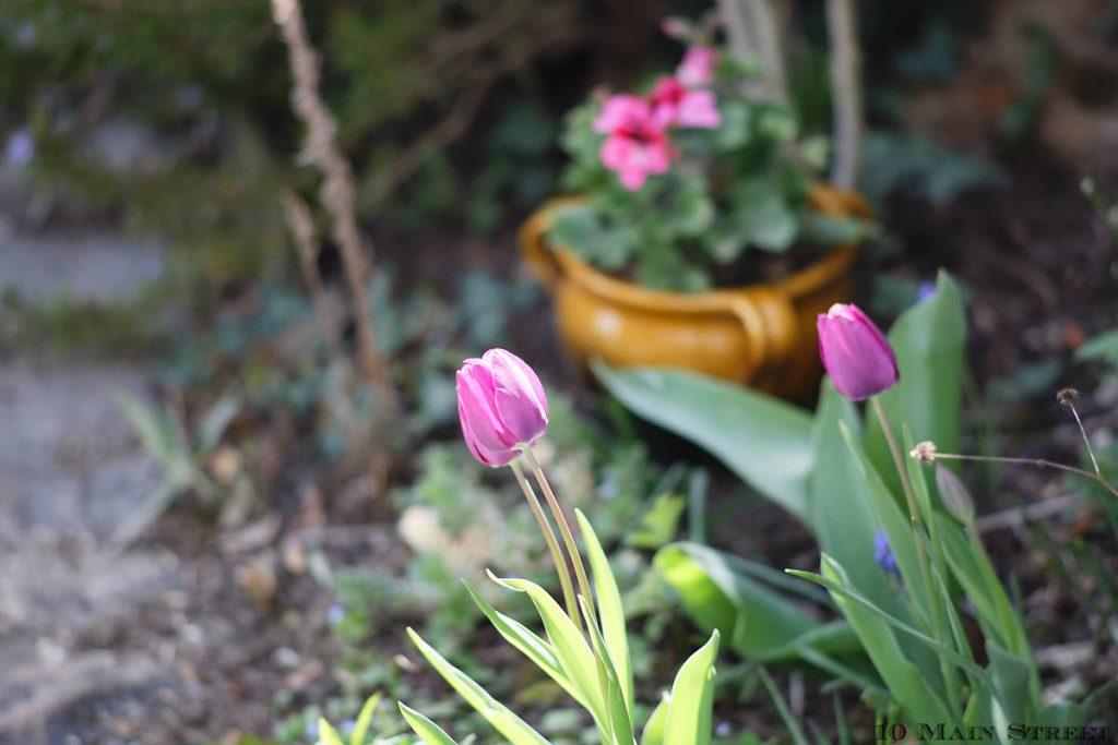 Tulipes 2021 devant la maison