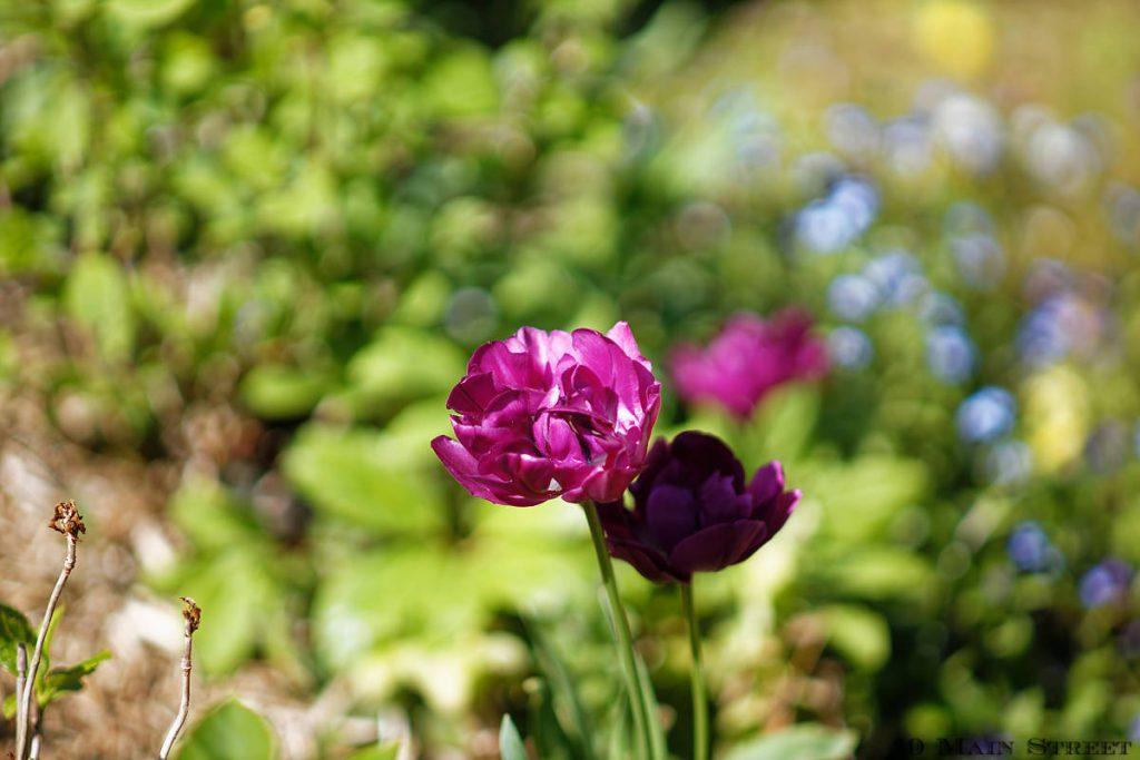 Tulipes mauves entre les hortensias