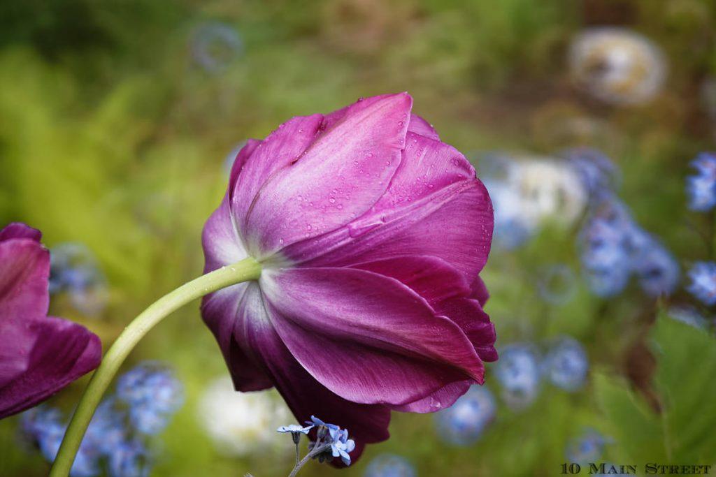 Tulipes 2021 : le retour