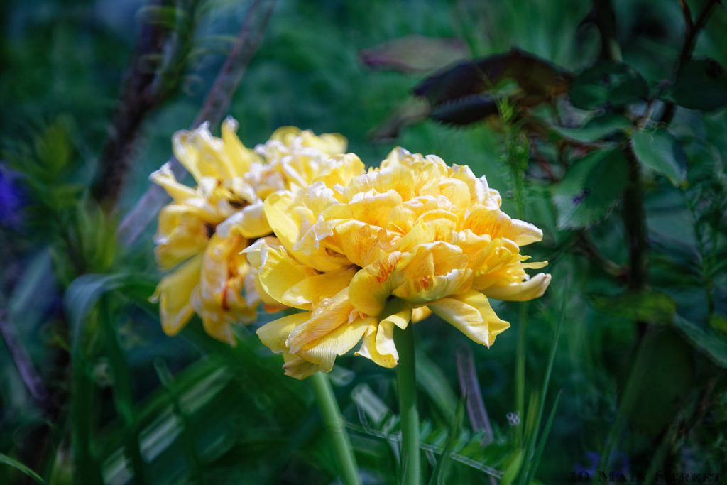Tulipes jaunes doubles