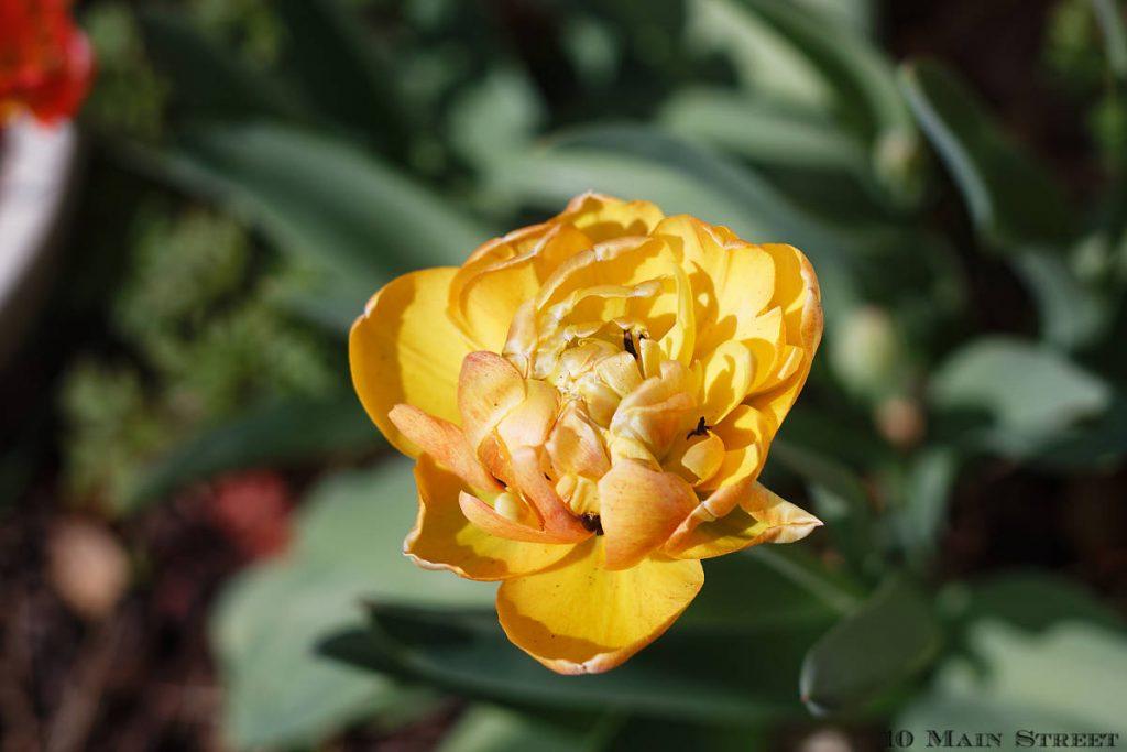 Tulipe double jaune