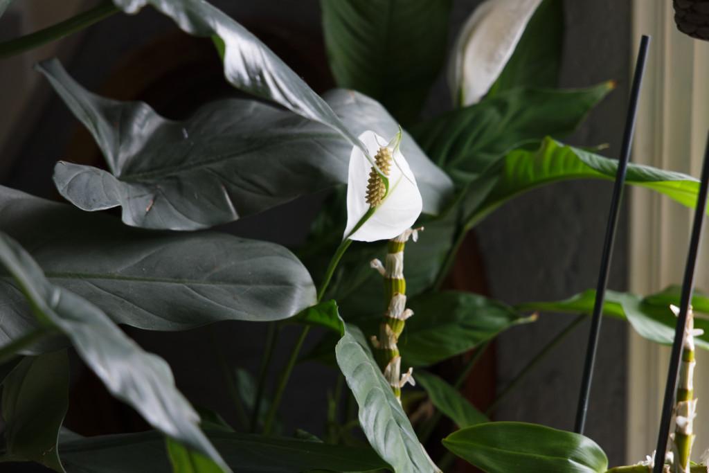 Fleurs de spathiphyllum