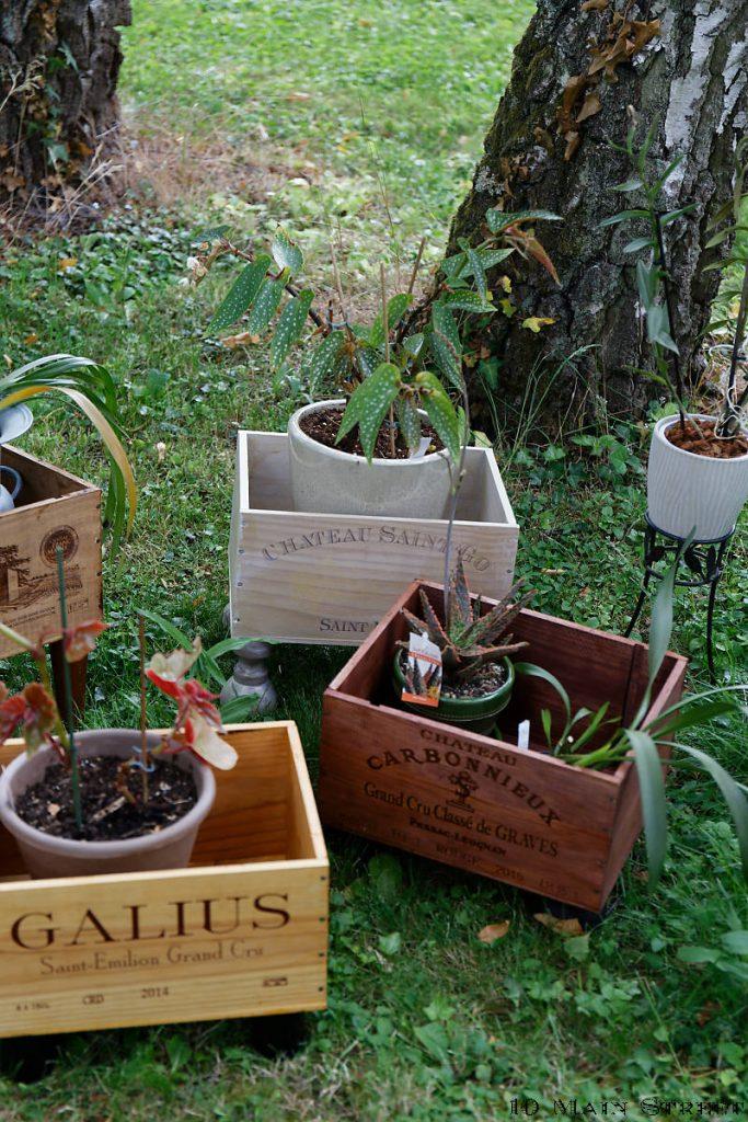 Plantes d'intérieur sorties pour l'été dans des caisses à vin